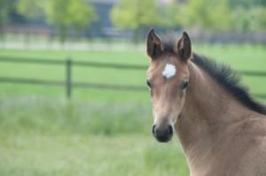 Veulens foals Stal Hendrix