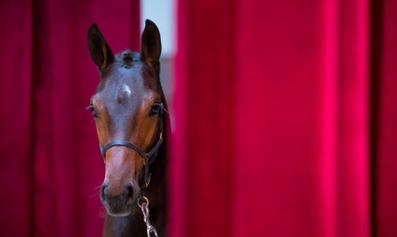 Website Limburg Foal Auction