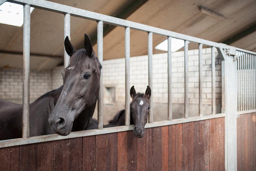 VDT Horses